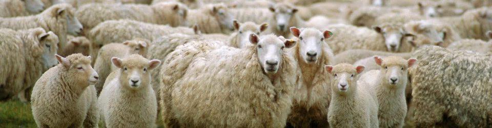 100-ovelhas